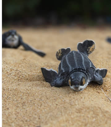 Sea Turtle hatching on Bluff Beach in Bocas del Toro, Panama